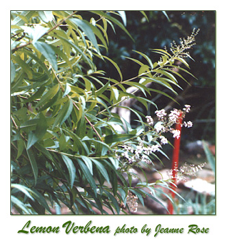 lemon verbena, herbal plants, aromatic gardening