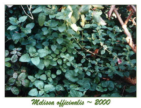 herbs, herbal classes, melissa officinalis