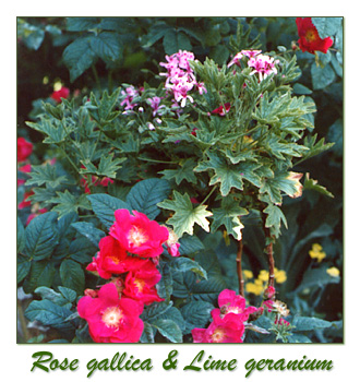 rose gallica, lime geranium, herbs, plants